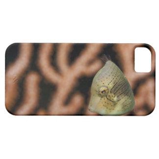 Japanese inflator filefish (Brachaluteres iPhone 5 Case