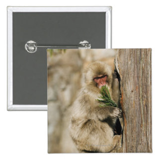 Japanese Macaque Climbing Tree, Eating Leaves Pinback Button