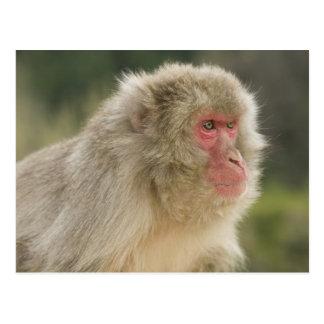 Japanese Macaque Macaca fuscata), also known Postcard