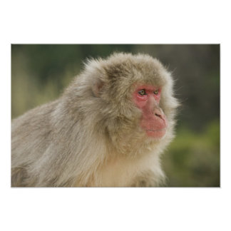 Japanese Macaque Macaca fuscata), also known Poster
