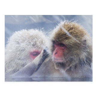 Japanese Macaques (Macaca fuscata) Grooming in Postcard