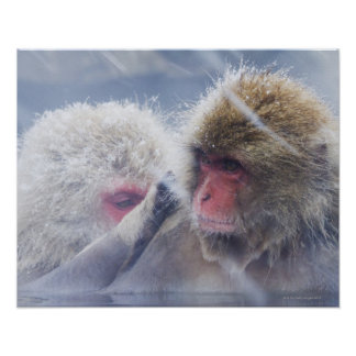 Japanese Macaques (Macaca fuscata) Grooming in Poster