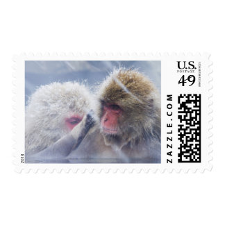 Japanese Macaques (Macaca fuscata) Grooming in Stamp