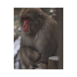 Japanese Macaques - Macaco Japones Canvas Print