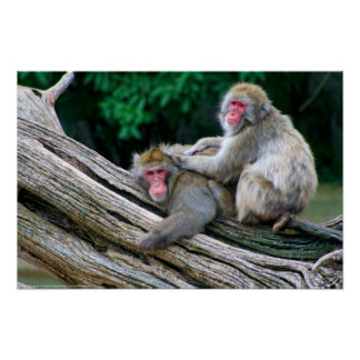 Japanese Macaques - The Snow Monkeys Print