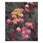 Japanese Maple. fall. Poster