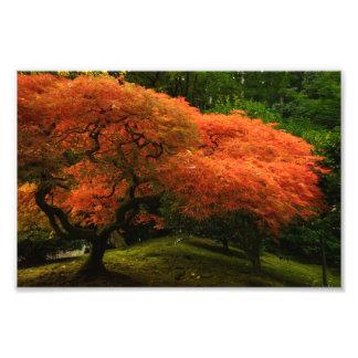 Japanese Maple in a Japanese Garden in Autumn Photo