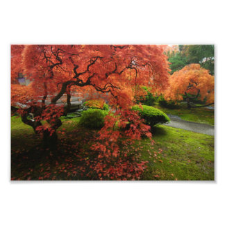 Japanese Maple in a Japanese Garden in Autumn Photo Print