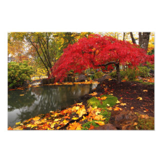Japanese Maple in a Japanese Garden in the Autumn Photograph