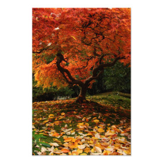 Japanese Maple in a Japanese Garden in the Autumn Photo Print
