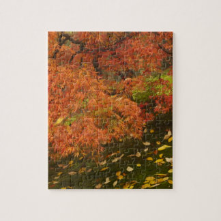 Japanese maple in fall color 2 jigsaw puzzle