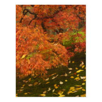 Japanese maple in fall color 2 post cards
