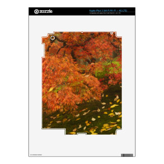 Japanese maple in fall color 2 skins for iPad 3