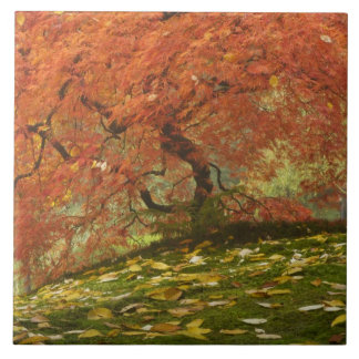 Japanese maple in fall color 3 ceramic tile