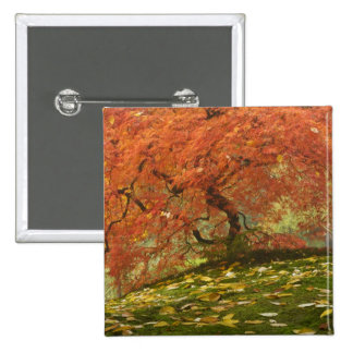 Japanese maple in fall color 3 pinback button