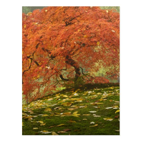 Japanese maple in fall color 3 postcard