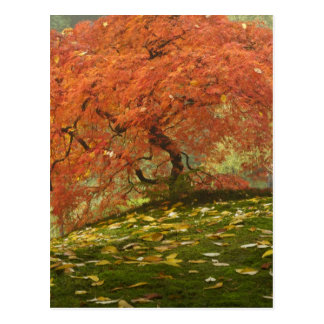 Japanese maple in fall color 3 postcards