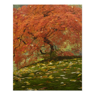 Japanese maple in fall color 3 poster