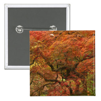 Japanese maple in fall color 4 pinback button