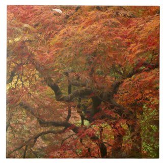 Japanese maple in fall color 4 tile