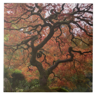 Japanese maple in fall color 5 ceramic tile
