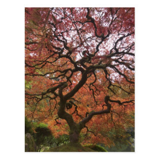 Japanese maple in fall color 5 postcard