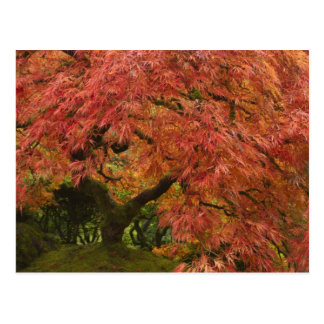 Japanese maple in fall color postcard