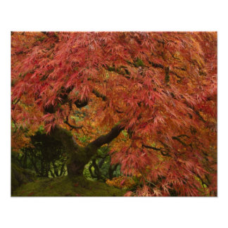 Japanese maple in fall color poster