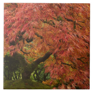 Japanese maple in fall color tile