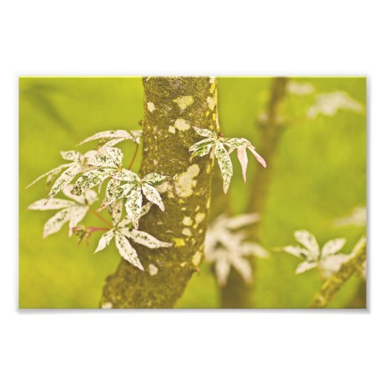 Japanese Maple In Spring. Photo Print