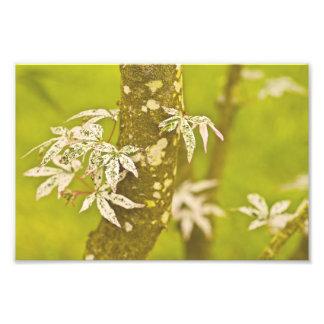 Japanese Maple In Spring. Art Photo