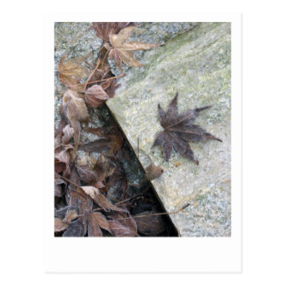 Japanese Maple Leaf Frosted by Winter Chill Postcard