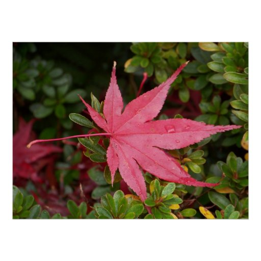 Japanese Maple Leaf Posters