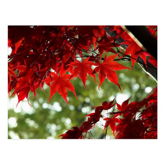 Japanese Maple Postcard