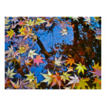 Japanese Maple Reflections Posters