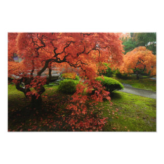Japanese Maples in a Japanese Garden in the Autumn Art Photo
