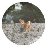 Japanese Midget Shiba 4 Plate