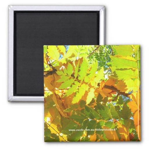 Japanese Pagoda Tree Autumn Leaves - Magnet