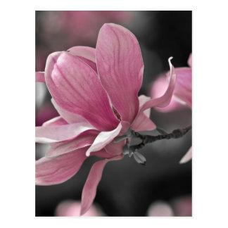 Japanese Pink Saucer Magnolia Postcard