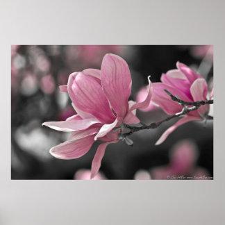 Japanese Pink Saucer Magnolia Poster