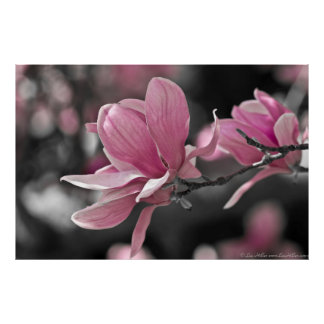 Japanese Pink Saucer Magnolia Posters