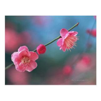 Japanese plum 4 postcards