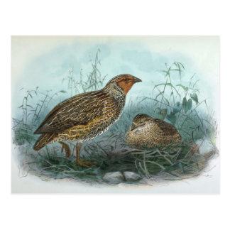 Japanese Quail Vintage Bird Illustration Postcard