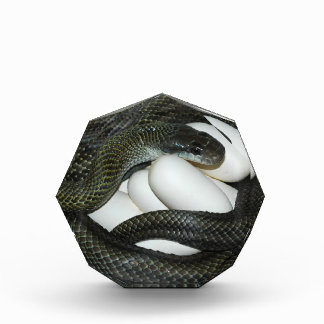Japanese Rat Snake, beautifull and caring mother! Award