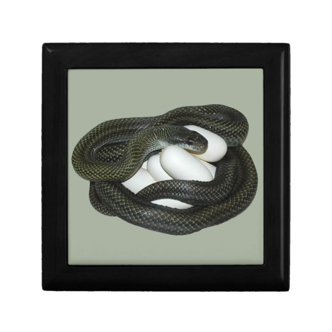 Japanese Rat Snake, beautifull and caring mother!