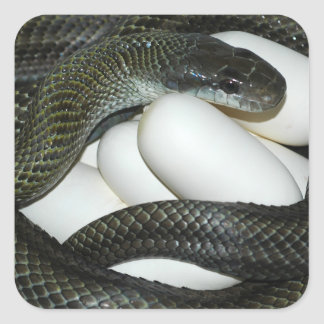 Japanese Rat Snake, beautifull and caring mother! Square Sticker