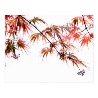 Japanese Red Maple Art Photography L Postcard