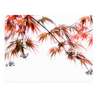 Japanese Red Maple Art Photography Postcard