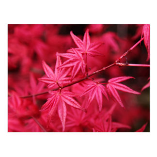 Japanese Red Maple Postcard