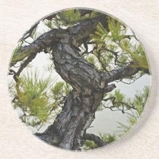 Japanese Red Pine Bonsai Tree Drink Coasters